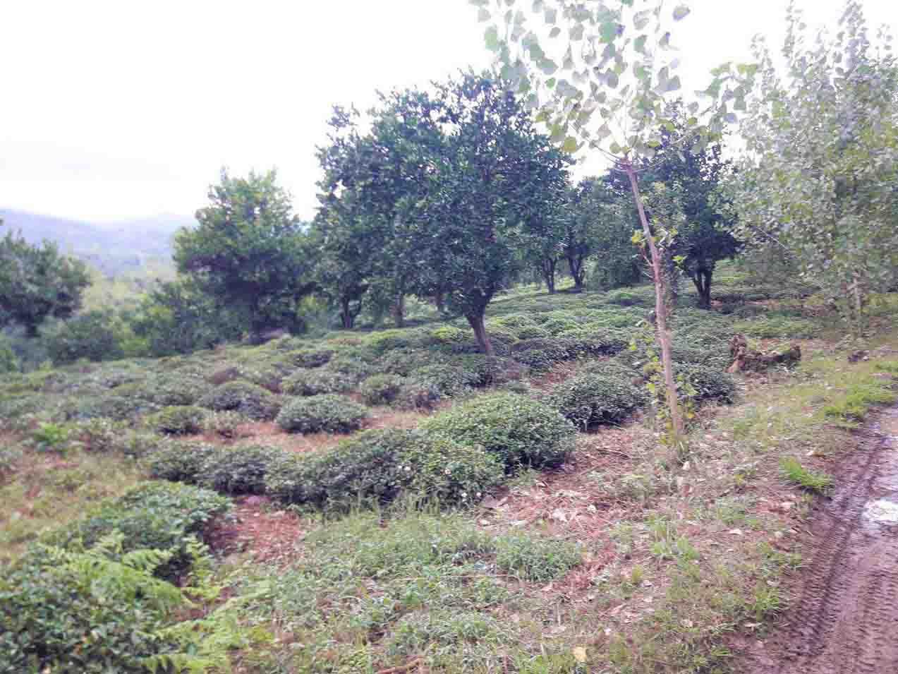فروش باغ چای 6 هکتاری در اطاقور