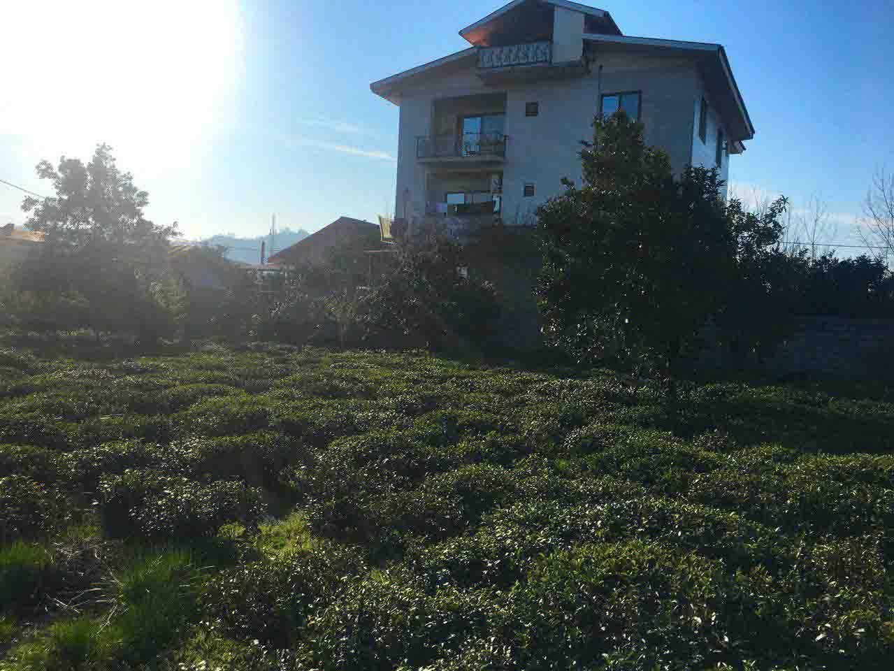 فروش زمین باغ چای 2 کله در کومله