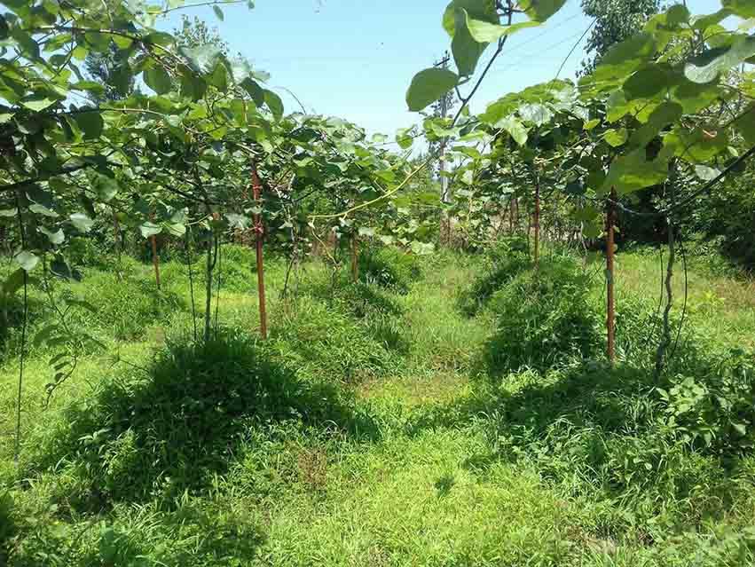 فروش باغ کیوی 1700 متری املش