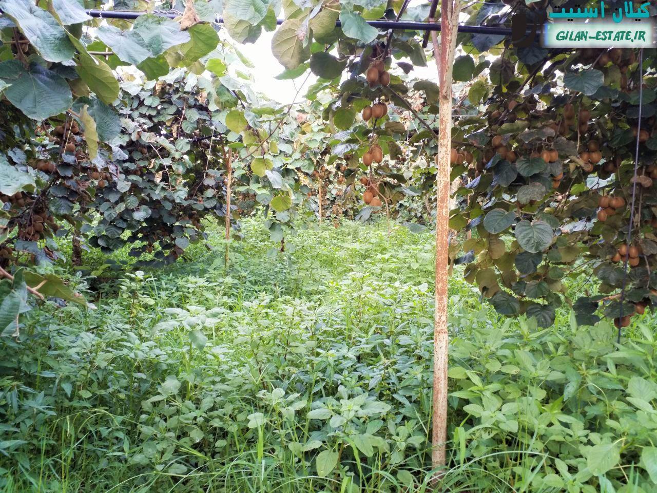 خرید باغ کیوی گیلان - 14 هزار متر با سند