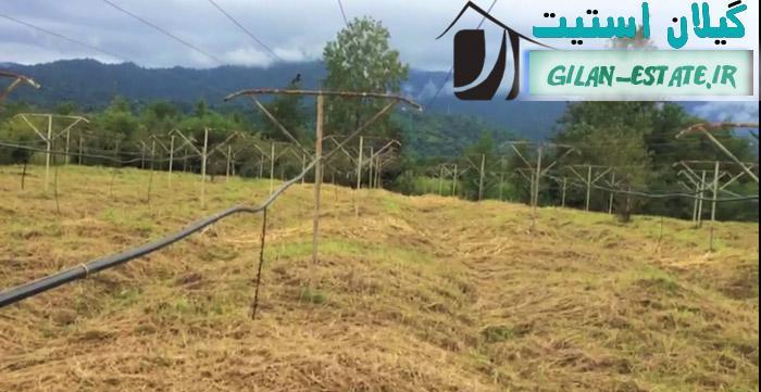 خرید باغ کیوی رحیم آباد گیلان - 7 هزار متر