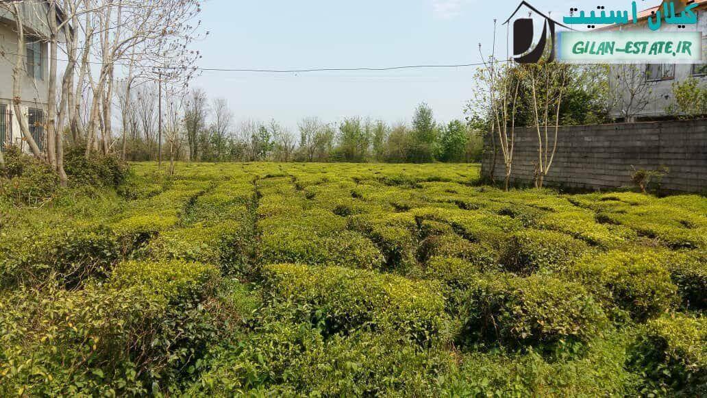 خرید باغ چای مسکونی در گیلان - 1.5 هکتار