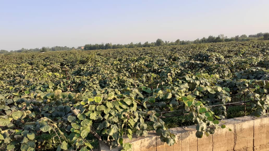 فروش باغ کیوی هکتار گیلان